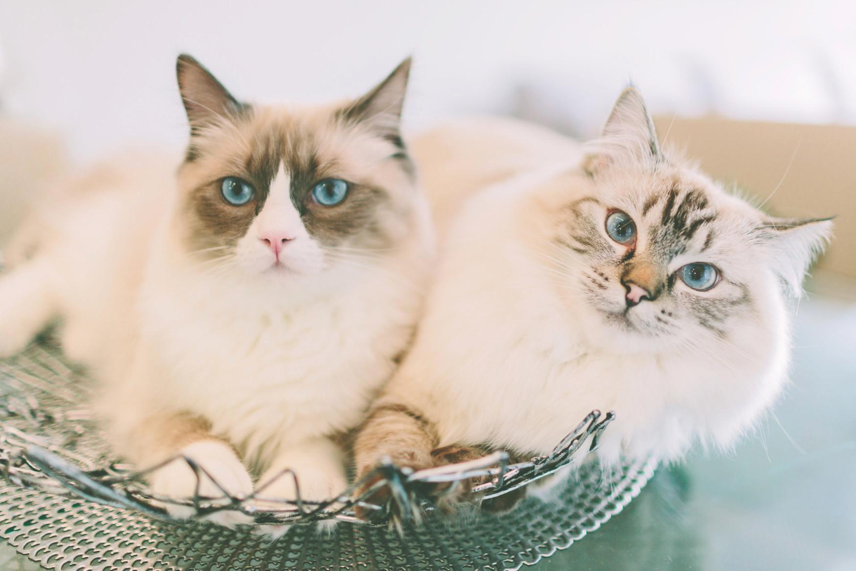 chat-yeux-bleux